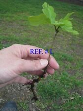 OUR #1 !! BEST SELLER WHITE OAK STARTER SEEDLINGS QTY-35  FRESH IN SPRING 2017