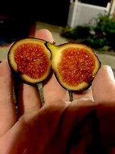2 Col de Dame Grise Fig Tree Cuttings - Arguably One Of The Best FigS! LAST 2!