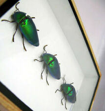 3 metallic Green Jewel beetles Sternocera iridescent Elytra taxidermy bug insect
