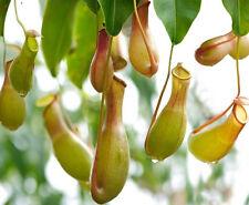 FD1035 Carnivorous Nepenthes Seed Chinese Characteristic Zhulongcai Seed 50pcs*