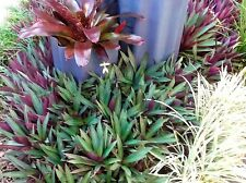 """4 RHOEO EXTREMELY HEALTHY 6""""-15cm landscaping plants"""