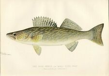 Antique Denton Fish Print ~ The Pike Perch or Wall-eyed Pike