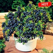 100 seeds/pack Blueberry seeds Bonsai Edible fruit seed, Indoor, Outdoor