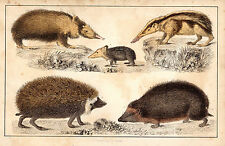 HEDGEHOGS (2) - PRINT FROM GOLDSMITH/CUVIER (1866), ORIGINAL HAND-COLOURING