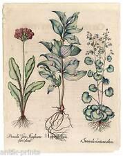 Hortus Eystettensis - Hippoglossum - Kupferstich 1613 Basilius Besler