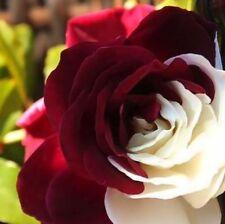 10 semi ROSA BICOLORE ROSSO-BIANCO - (rare rose seeds)