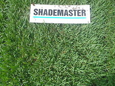 Shademaster Soft Leaf Buffalo - Real Grass- Lawn - Real Turf