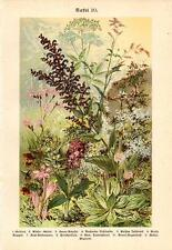 1899 LUTZ CHROMOLITHO elder, sage, sorrel, avens, autumn crocus, eyebright, ...