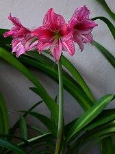 Hippeastrum Magical Touch x Autumn Rose Lady  5  seeds