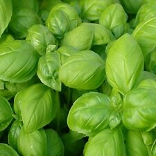 Basil Gustosa seeds 700 seeds per pack vegetable herb seeds SALE OFFERS inside