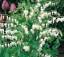 Pack x1 Dicentra Spectabilis Alba (Bleeding Heart) WPC Prins Bulbs/Perennials