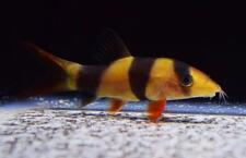 1 CLOWN LOACH moss java shrimp guppy (video included)