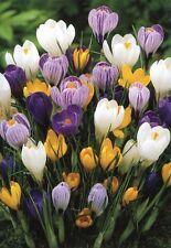 100 LARGE SPRING FLOWERING CROCUS (Mixed Colours) HIGHEST QUALITY