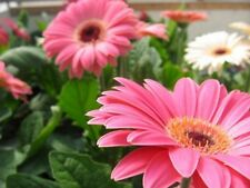 DARK EYE PINK SHADES FESTIVAL GERBERA DAISY 10 SEEDS SUCH A STUNNING BEAUTY