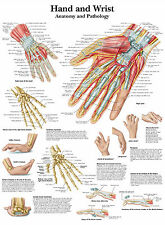 A3 Medical Poster - The Human Hand & Wrist (Text Book Anatomy Picture Doctor)