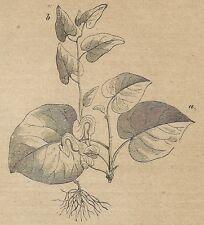 A4371 Aristolochia - Incisione - Stampa Antica del 1887