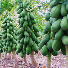 Home Garden Maradol Papaya Seeds Vegetable Fruit Tree Plants*10* Seeds