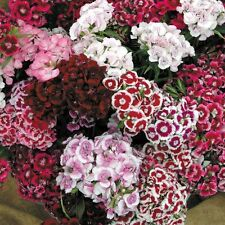 Flower Seed DIANTHUS - Dianthus Floral Lace Mix - Pack of 50 Seeds