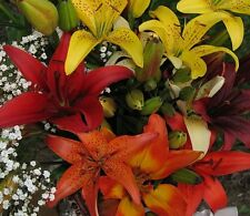 "(2) Perennials ""Spectacular Asiatic Lily Mix""  New Flower Bulbs"