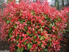 10 x RED ROBIN Photinia x fraseri hardy eye-catching hedging plant in 140mm pot