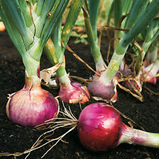 50 Red Candy Apple Onion Plants - Grown from Organic GMO Free Vegetable Seed