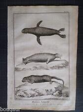 Loutre Canada Phoque Morse Histoire Naturelle 18e s. Gravure ORIGINALE in-folio