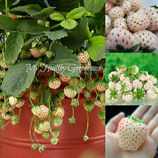 "SEEDS - NEW and RARE! Pineapple flavored strawberry! ""White Alpine"" Pineberry!"