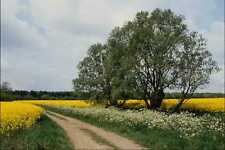 802093 Rape Oil Seed Field A4 Photo Print