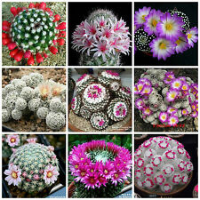 20 seeds of Mammillaria mix, cacti mix, succulents seeds mix R