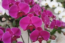 Phalaenopsis Moth Orchid Live healthy plant hybrid flowering size