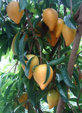 Canistel Yellow Sapote Egg Fruit Pouteria Campechiana Plant Tree