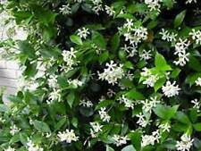 100 CHINESE STAR JASMINE Trachelospermum jasminoides fragrant flower plants 40mm