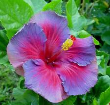Tropical Hibiscus Seeds - NIGHTFIRE - Blues and Reds - CANADA HARVEST - 10 Seeds