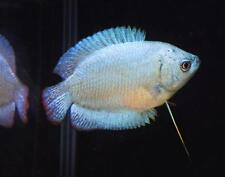1 Powder Blue Dwarf Gourami moss java shrimp guppy