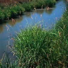 5 lbs REED CANARY GRASS SEED Tall Perennial Bunchgrass  for Wetland Planting