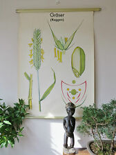 LOVELY VINTAGE  PULL DOWN BOTANICAL SCHOOL WALL CHART / POSTER OF RYE GRASS