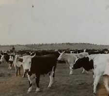 """Range Cattle, Important Source of Australian Wealth"", Magic Lantern Glass Slide"