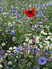 Wild Flower Seeds - 100gms - Cornfield Annuals & Companion Grasses