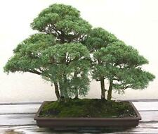 Juniperus chinensis - 30 graines-Genévrier chinois-grand Bonsai Tree!
