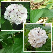 Rose Clerodendrum 5 seeds, Glory Bower, bungei, Rare Seeds Flower So Fragrant