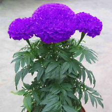 100 Purple Blue Marigold Seeds Home Garden Flower Plant Seed