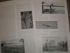 Photo article on Florida crocodiles alligators 1906 ref U