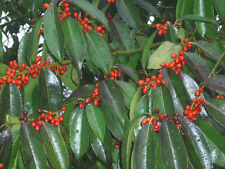 20 KASHI HYBRID HOLLY SEEDS - ILEX CHINENSIS X O.P.