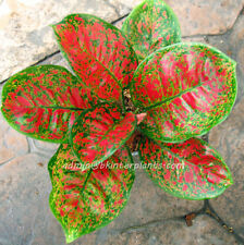"NEW AGLAONEMA Nice Form ""Full of Gold"" Beautiful +Free Phyto RARE Don't miss@@"