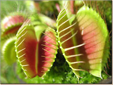 * Carnivorous VENUS FLY TRAP Seeds * With Care Instructions *
