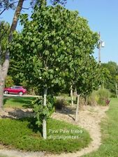 50+ Fresh Paw Paw Fruit Tree Seeds *  Pawpaw The Indiana Banana *New Crop Seeds