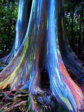RAINBOW EUCALYPTUS Deglupta - Mindanao Gum - 100+ Seeds - UK SELLER