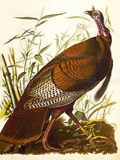 PAINTINGS DRAWING ANIMAL BIRD WILD TURKEY ILLUSTRATION COOL POSTER PRINT LV3014