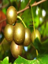 10 White Muscadine Grape Seeds JELLY OR FRESH GRAPES
