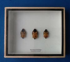 3 REAL RARE MAN FACED STINK BUGS BEETLE INSECTS TAXIDERMY INSECT BEETLE DISPLAY